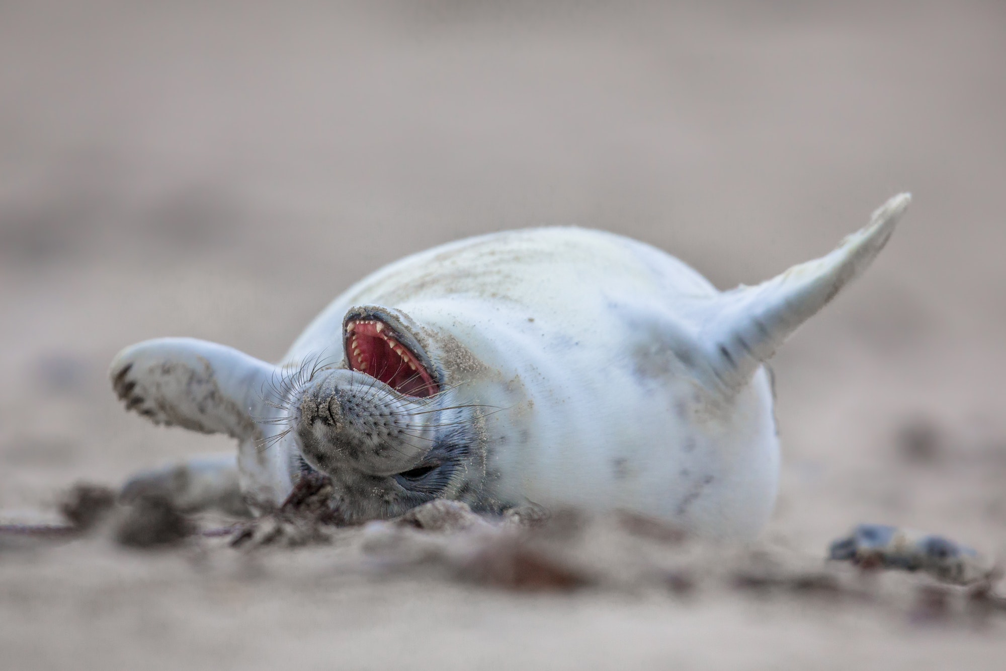 baby seal laughing out loud